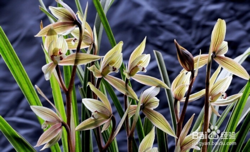 蕙兰,建兰,寒兰,墨兰五大类,对兰花品种的鉴别主要奉行三看叶形,花苞图片