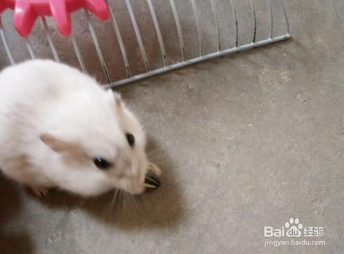小仓鼠狮子有特性胖子里的小大战仓鼠和鹿银狐图片