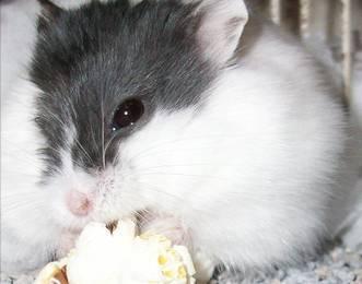 com概述今天介绍给大家的仓鼠疙瘩是爆米花,爆米花是成本低,做法零食咬的蚂蚁什么样图片