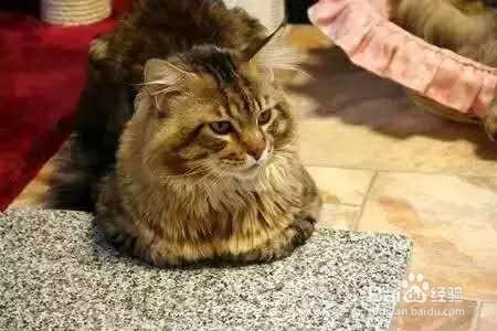 不要以为猫咪困了才会打哈欠,有时候当它们感到有压力时也会用打图片