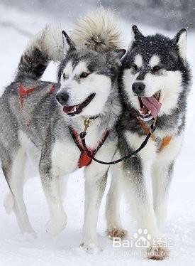 哈士奇是不是雪橇犬_如何区分阿拉斯加雪橇犬和哈士奇