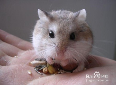 小仓鼠的习性有哪些花草里长苍蝇图片
