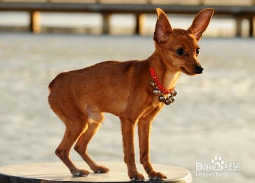因此得名小鹿犬,小鹿犬,环境适应力比较强,外形短小精悍,智力比较高
