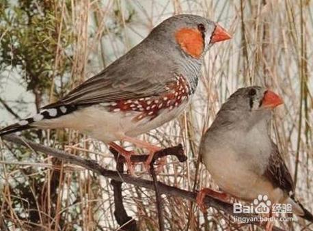 促进性成熟的珍珠鸟发情,和作为信出壳小鸟的饲料而被广泛的应用于