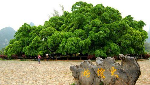 旅行/户外运动攻略>国内游2大榕树攻略景区:阳朔大榕树矗立在2018日本购物旅行特点