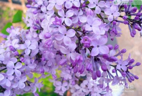 丁香就去爱_手工/爱好 > 园艺  1 说到底,丁香花还是非常好种植的,丁香花的种植