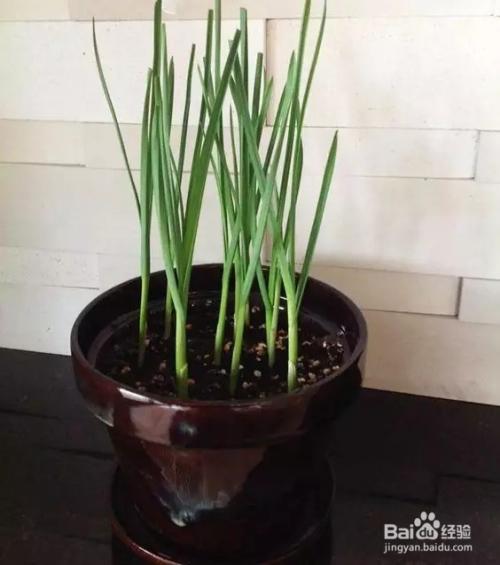 将菜园搬入家中----蒜苗的种植