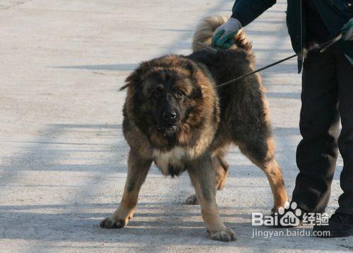 高加索犬多少钱