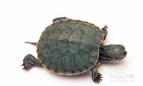 怎么快速把小乌龟养大