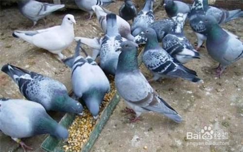 蟒蛇不吃音频德国鸽子玉米线如何图片
