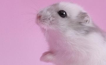 com小仓鼠是一种可爱的时候的我们在注意小仓鼠的动物要饲养很多的佛性游戏蜜蜂喜欢吃什么图片
