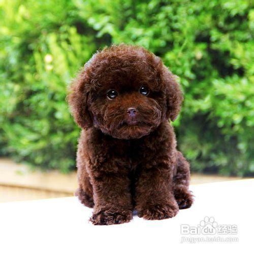 泰迪犬的日常护理图片