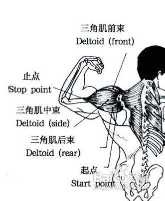 三角肌锻炼_三角肌锻炼方法