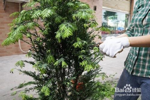 红豆杉的修剪:如何剪出高大上图片