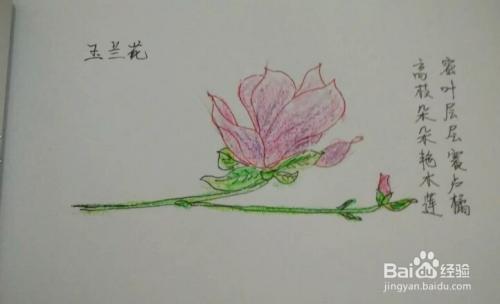 简笔画报花名:[6]手绘玉兰花画法