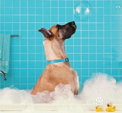 周岁之内的狗狗可以经常洗澡吗_因为狗狗生产后是不能洗澡的,而且在哺乳期最好还不要给它洗澡,以免感