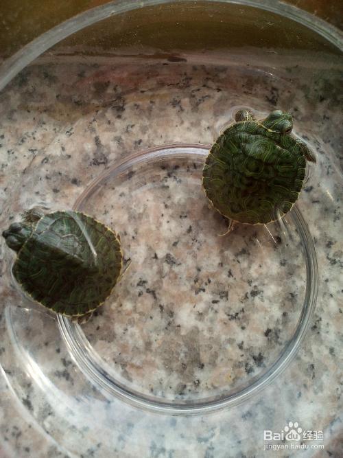 乌龟小宠物怎么养