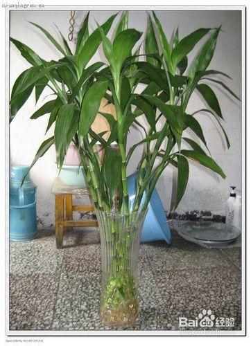 水竹子怎么养