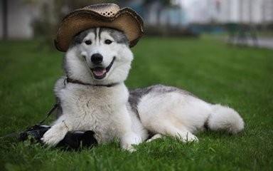 拉斯加犬好养吗_阿拉斯加犬性格怎么样?阿拉斯加犬好养吗?