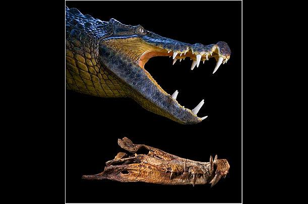 扁嘴鳄图_科学家塞利诺的理论:鳄鱼作为一个能够生存在恐龙时代的物种 ...