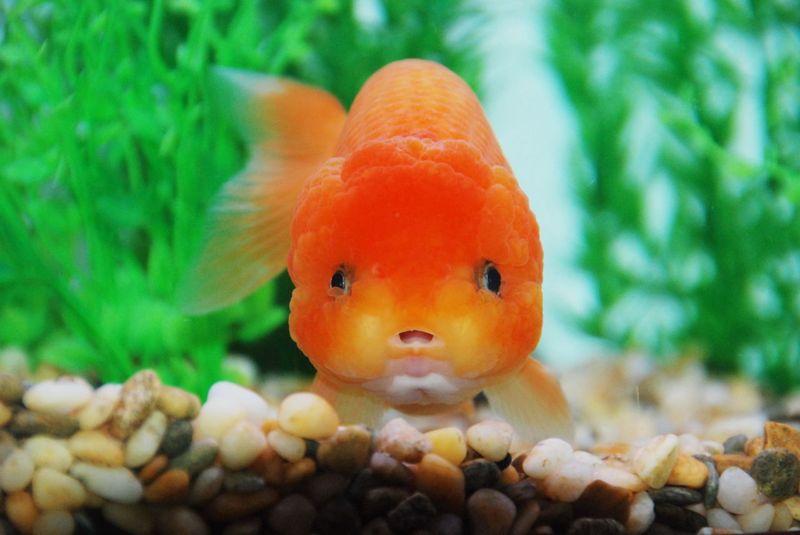 蓝色兰寿金鱼图片_红白蝶
