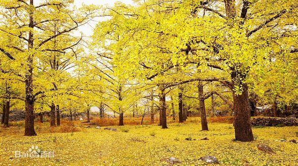 海洋银杏风景区_桂林海洋银杏图片_百度百科