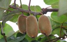 贵长猕猴桃