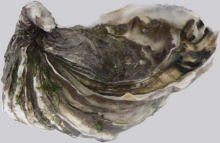 Oyster (Figure 9)