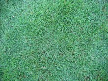 马尼拉草坪图