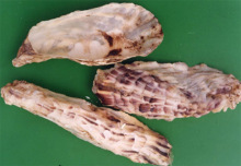 Oysters - medicinal (Figure 4)