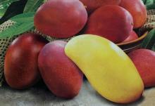Mango is rich in vitamin A