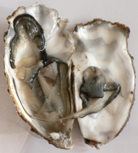 Oyster (Figure 8)