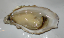 Oyster (Figure 10)