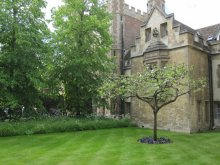 31 University of Cambridge - Newton Apple Tree