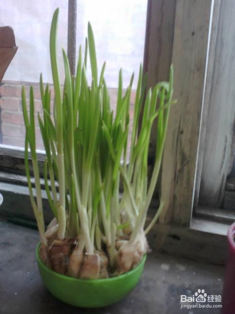 种水蒜的过程