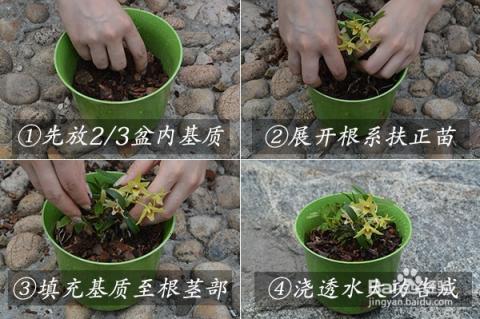 铁皮石斛家庭有机种植怎么养图片