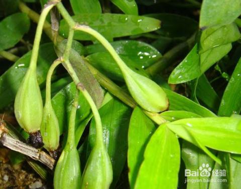 铁皮石斛种植方法图片