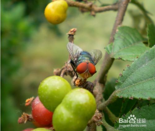 苍蝇是有害还是有益?苍蝇能活多久?