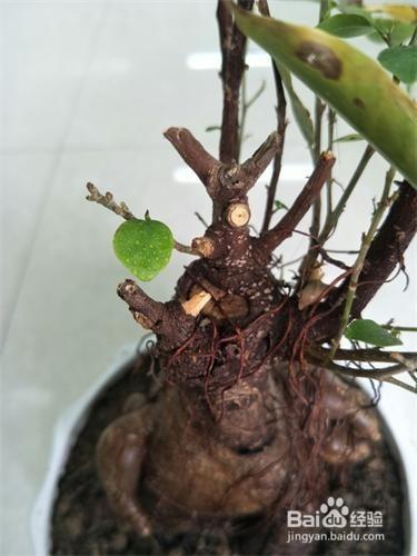 怎么让人参榕根系长的粗壮?