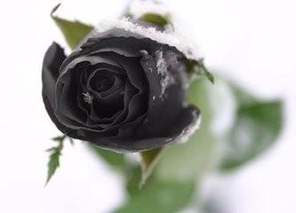 玫瑰有哪儿些品种类型