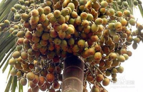 常吃槟榔的好处和危害图片