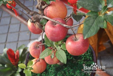 盆栽苹果的种植方法