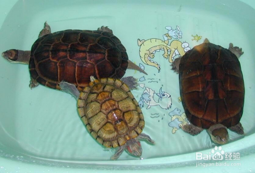 黄喉拟水龟苗的饲养_黄喉拟水龟怎么养漂亮-百度经验