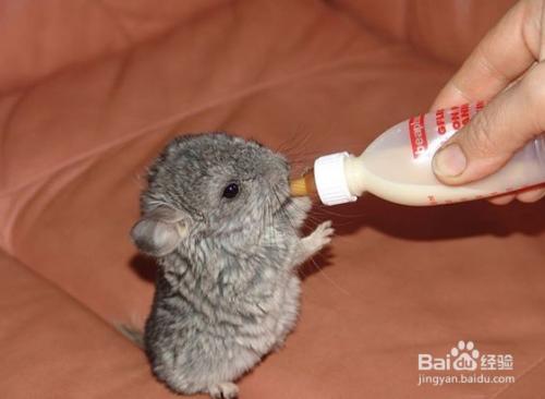 仓鼠的营养粉_小仓鼠喜欢吃什么食物-百度经验