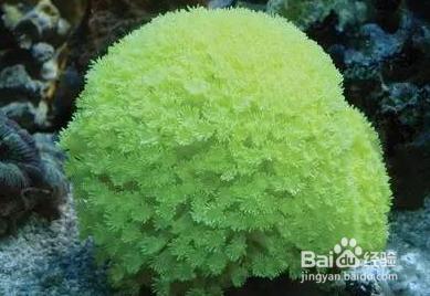宝石花珊瑚怎么养