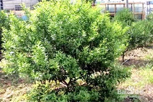 柑橘幼树管理技巧