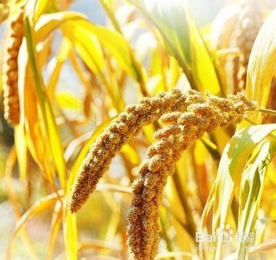 小米养生的一些食疗食谱