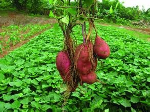 �t薯的功效�c作用 �t薯的禁忌及食用方法