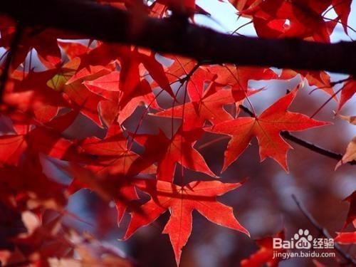 五角枫怎样种植
