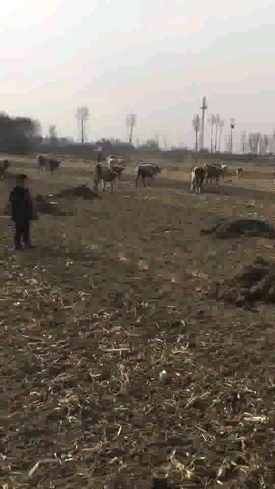牛交配合视频1_肉牛养殖吧-百度贴吧